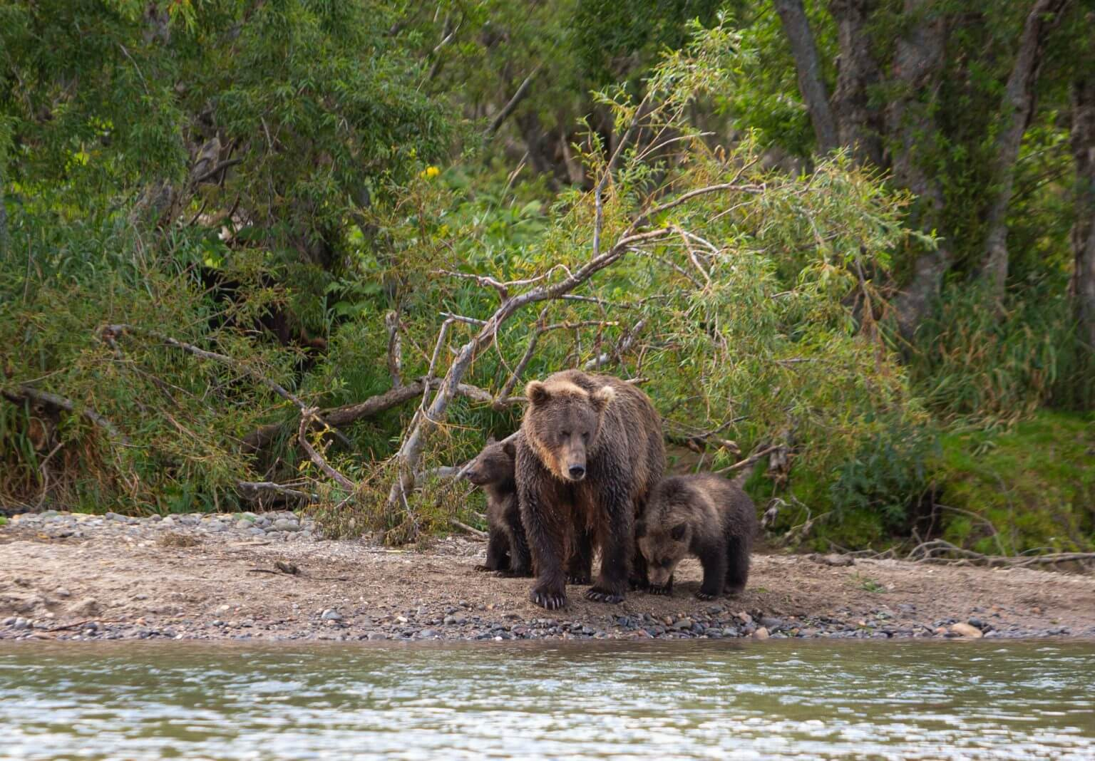 mãe urso